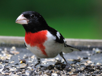 Rose-breasted_Grosbeak_by_Bert_Schmitz.jpg