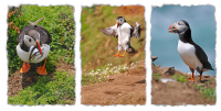 Skomer_Puffins_Tryptic_-_Ian_Peters.jpg