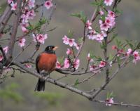 Spring_Robin_--Jane_R.jpg