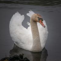 Swan_LazloGyorsok.jpg