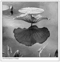 Lotus_Pond_Dance_-_2.jpg