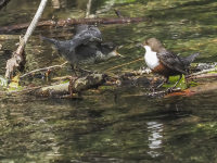 Dipper_feeding_young_on_R_Frome-31413.jpg